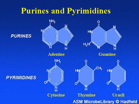 File:Dna purines pyrimidines fig2.jpg